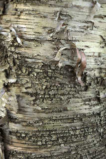Smooth tree bark 0026