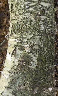 Smooth tree bark 0027
