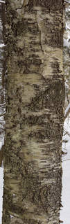 Smooth tree bark 0034