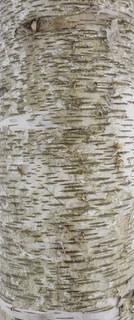 Smooth tree bark 0035