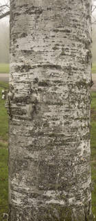 Smooth tree bark 0048