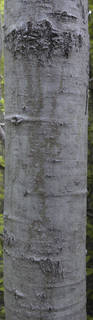 Smooth tree bark 0049