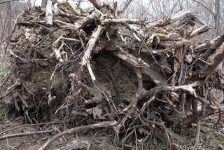 Tree roots and stumps 0002