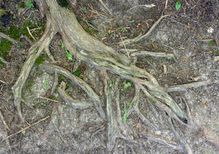 Tree roots and stumps 0031