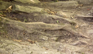 Tree roots and stumps 0033