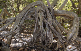 Tree roots and stumps 0040