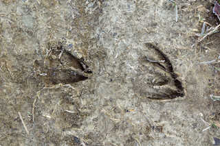 Footprints and animal tracks 0005