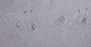 Footprints and animal tracks 0044