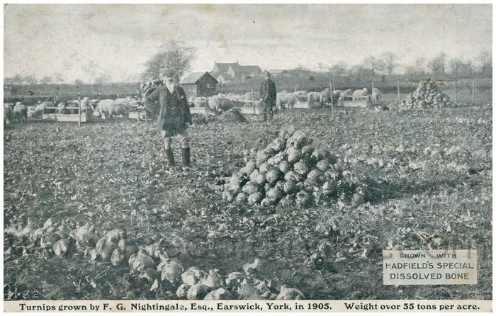 Postcard front: Turnips grown by F.G. Nightingale, Esq. Earswick, York, in 1905. Weight over 35 tons per acre