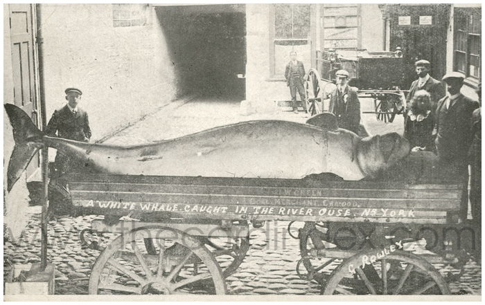 Postcard front: A White Whale Caught in the River Ouse. Nr. York