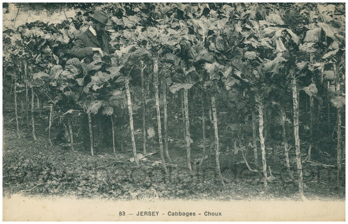 Postcard front: Jersey - Cabbages - Choux