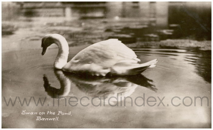 Postcard front: Swan on the Pond, Banwell.
