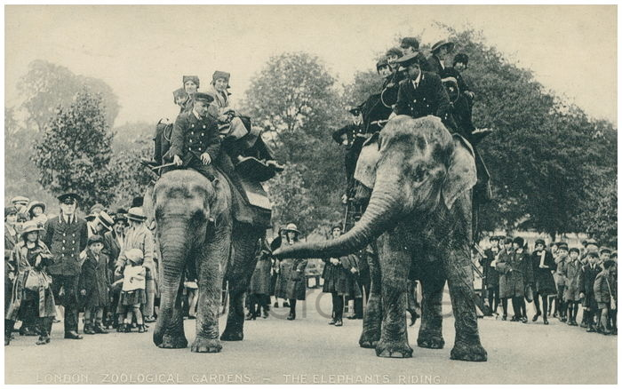 Postcard front: London. Zoological Gardens - The Elephants Riding.