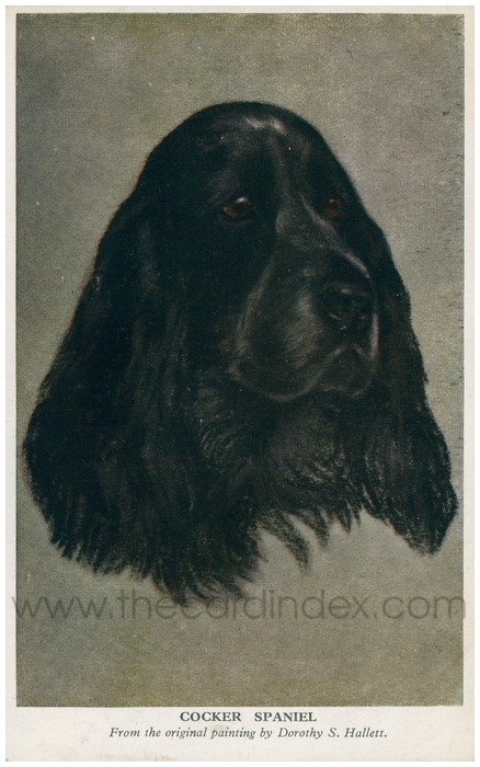 Postcard front: Cocker Spaniel - From the original painting by Dorothy S. Hallett