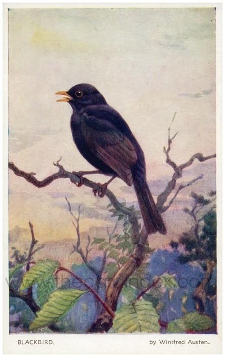 Postcard front: Blackbird by Winifred Austen