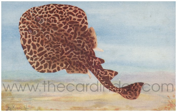 Postcard front: Madras Fishes - No. 4 The Electric Ray