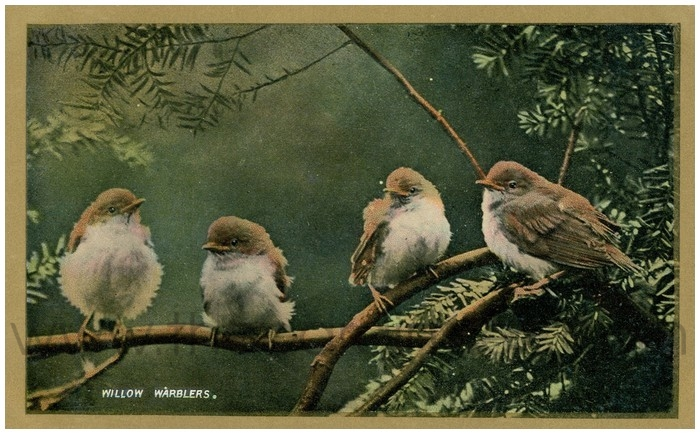 Postcard front: Willow Warblers