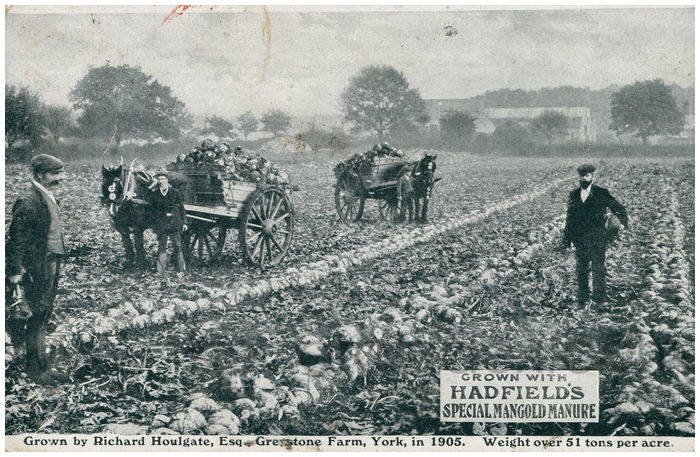 Postcard front: Grown with Hadfield's special mangold manure. Grown by Richard Houlgate, Esq Greystone Farm, York, in 1905.  Weight over 51 tons per acre