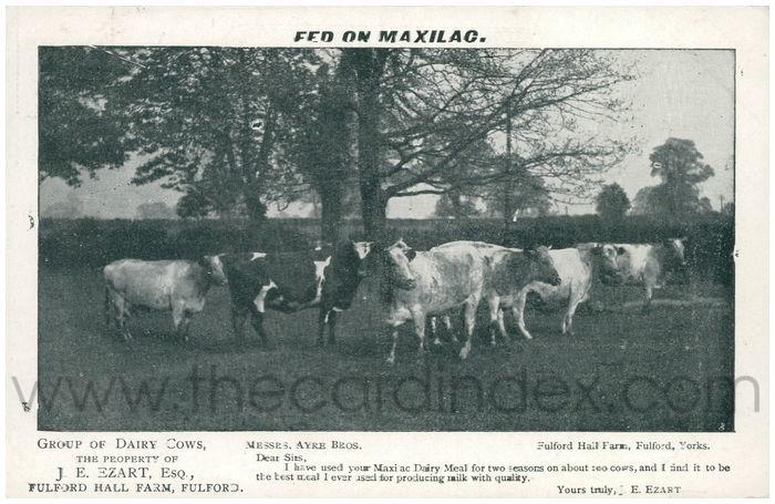 Postcard front: Fed on Maxilac Group of Dairy Cows, The Property of J.E.Ezart, Esq, Fulford Hall Farm, Fulford