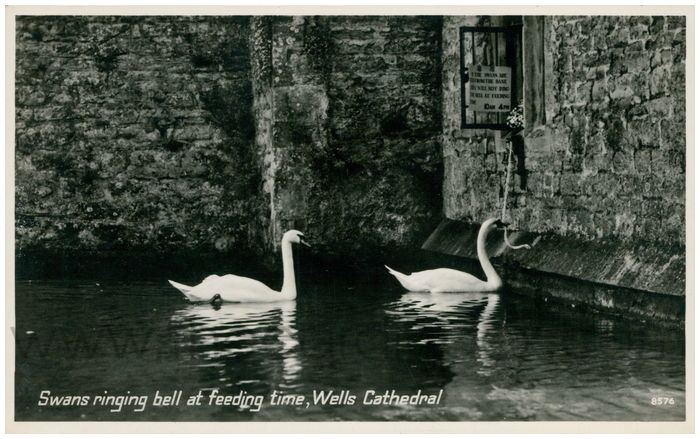 Postcard front: Swans ringing bell at feeding time, Wells Cathedral
