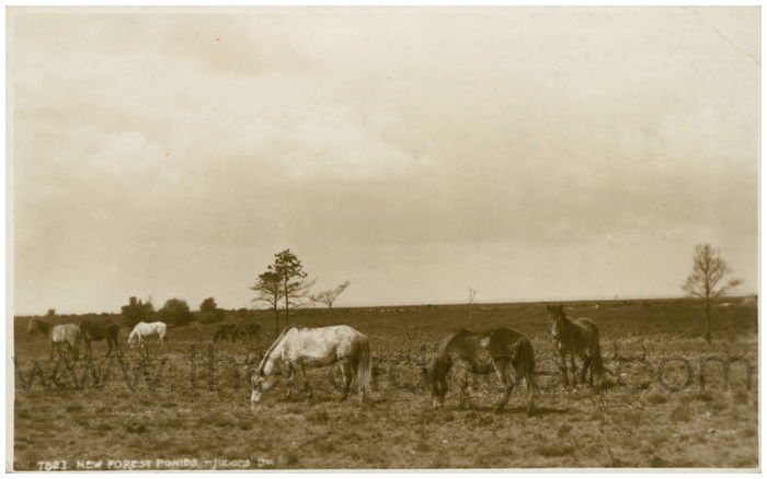 Postcard front: New Forest Ponies