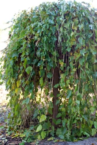Great bush for hiding in.