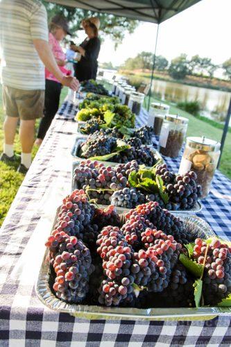brix tasting wine grapes ironstone