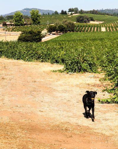 Bella Grace Vineyards dog