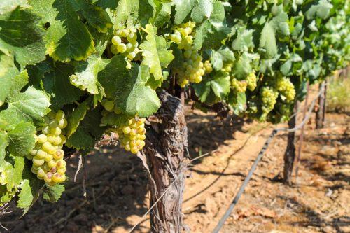 Bella Grace Vineyards Grape Vines