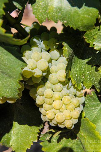 Bella Grace Vineyards wine grapes