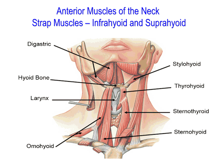 Anterior Muscles Of The Neck Thehubedu