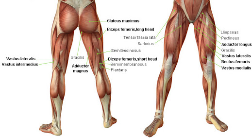 Muscles of the legs & hip - TheHubEdu.com
