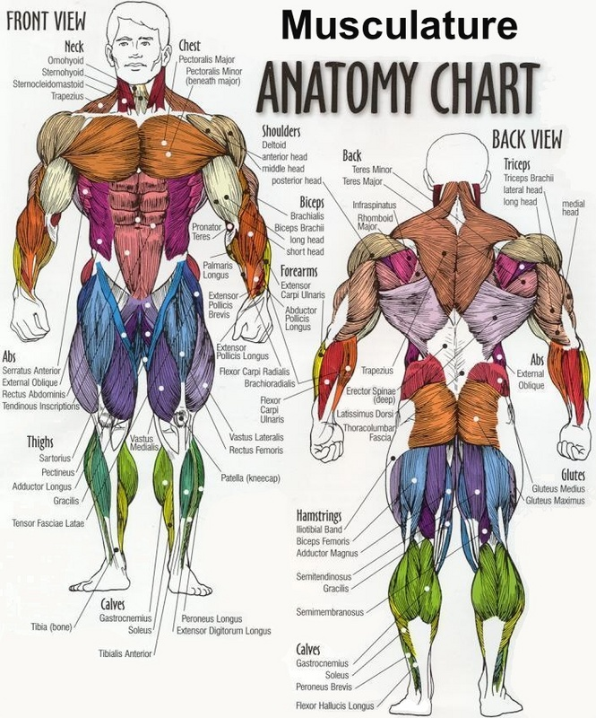Musculature Anatomy Chart Thehubedu