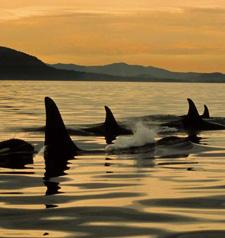 cw-orca.jpg