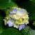 Hydrangeas_thumb