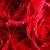 Roses2_thumb