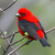 Scarlet_tanager_thumb