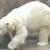Polarbearsv400304_thumb