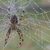 Araneus_diadematus_thumb