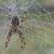Araneus_diadematus_thumb