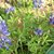 Bluebonnets_thumb