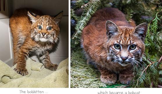 A bobcat becomes a bobkitten