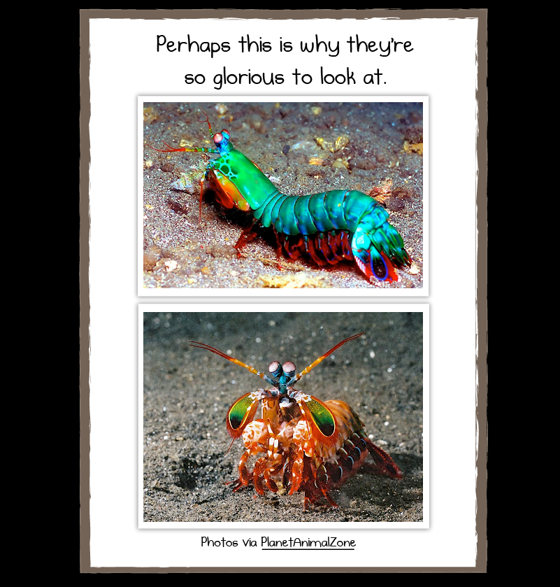 [Image: mantis_shrimp_3.png]