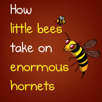 How little bees take on enormous hornets