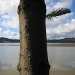 Tree and Hokianga harbour