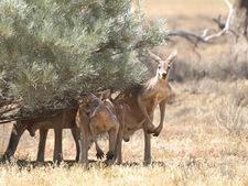P1030692 David   Male Red Kangaroos Sheltering In Sturt Np