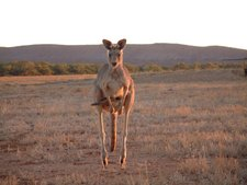 Eastern Grey Kangaroo Female At Fowlers Gap