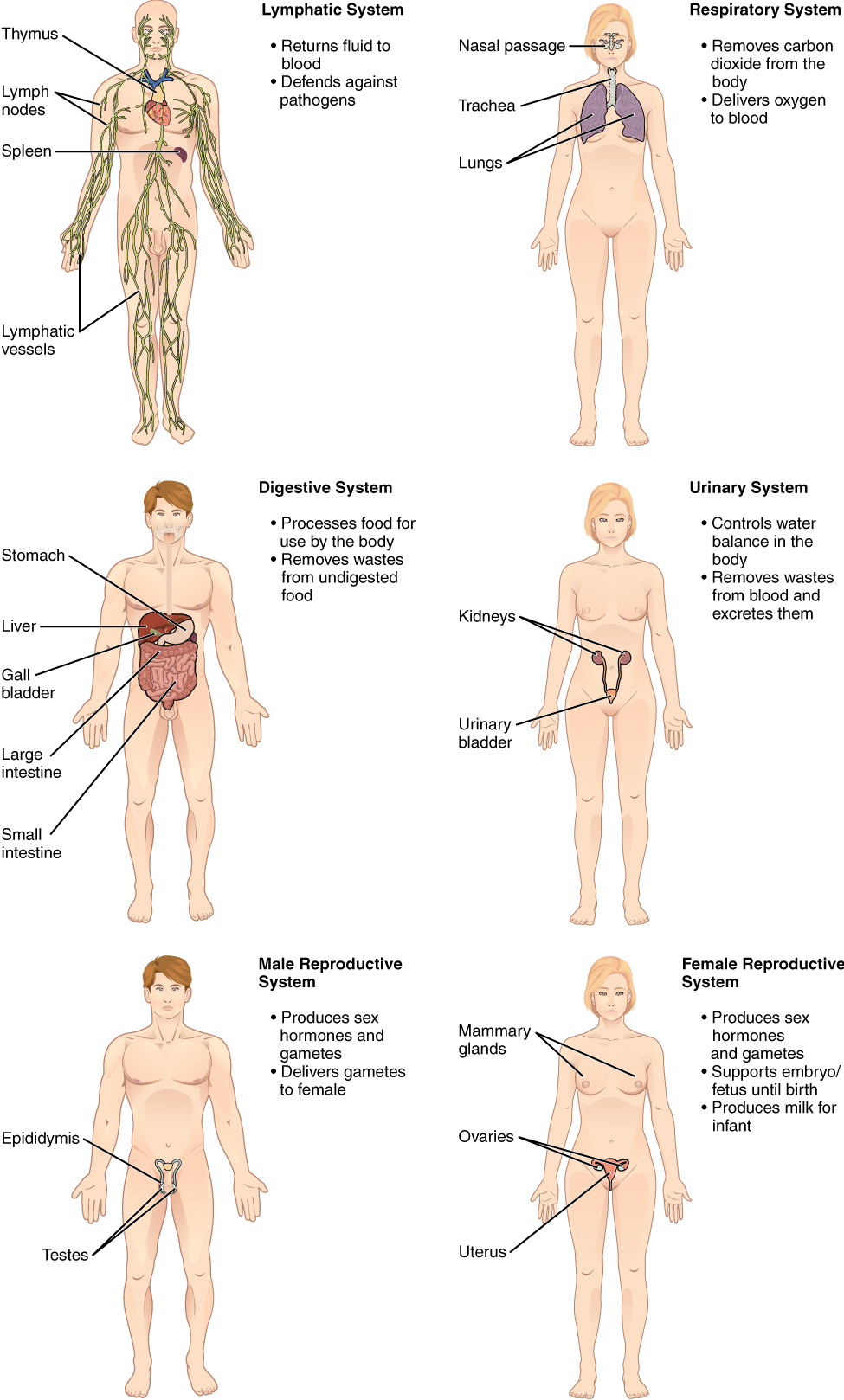 Famous Anatomy And Physiology Openstax Pictures - Human Anatomy ...
