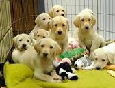 A large litter of puppies at a area animal shelter looking for a home (Photo Appleton Crescent)