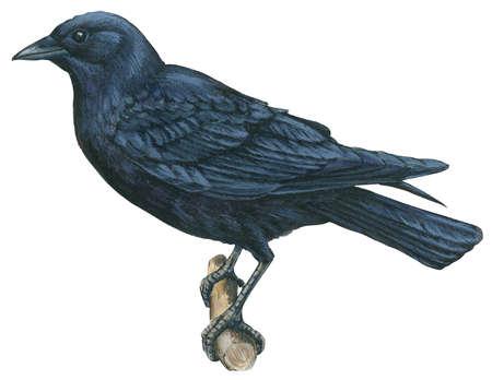 Indian Crow Food